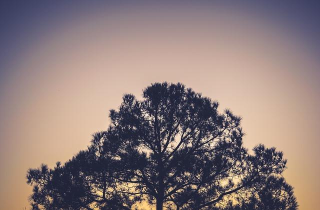朝焼けの針葉樹林