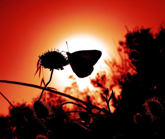 夕日に映える蝶