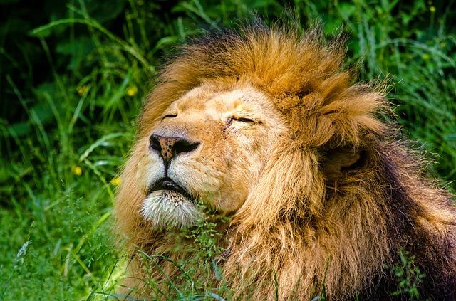 瞳を閉じたライオン