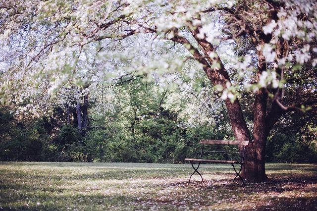 桜の樹とベンチ