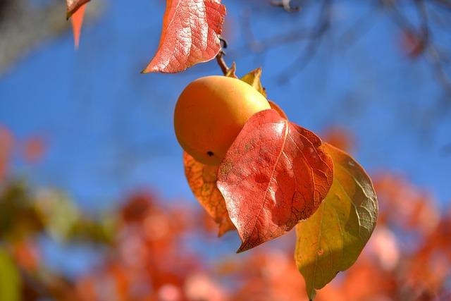 枝に実った柿