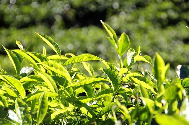 茶畑のクローズアップ