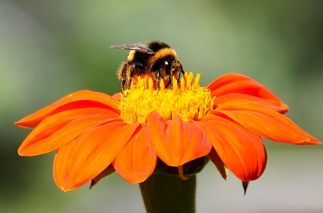 蜜蜂と橙花